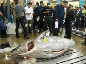 massive tuna 300x225 Massive Bluefin Tuna Caught Off Nova Scotia